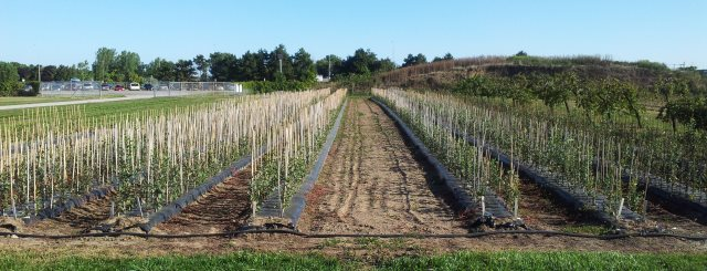 Apple trees in a seedling nursery