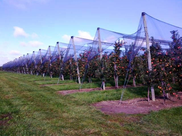 Orchard in trellis with hail netting